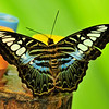 The clipper butterfly (parthenos sylvia)
