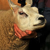 A vet examines a beltex sheep