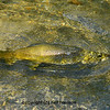 a large and beautiful green marble trout (trutta marmorata) being caught on a wet fly in a clear mountain stream
