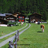 cows in the middle of a  swiss mountain village, wandering up to a family trying to have a picnic outdoors.